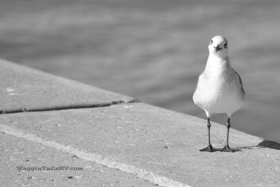 B@W,Hello, Laughing Gull, Bay Front, Corpus Christi, TX
