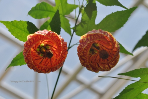 Chinese Lantern (Abutilon 'Tiger Eye') , Amarillo Botanical Garden